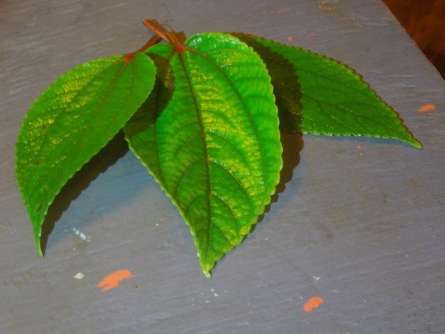 Mamaki Leaves
