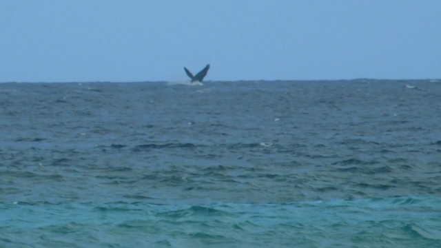 Why yes, that is a humpback whales waving hello to you!