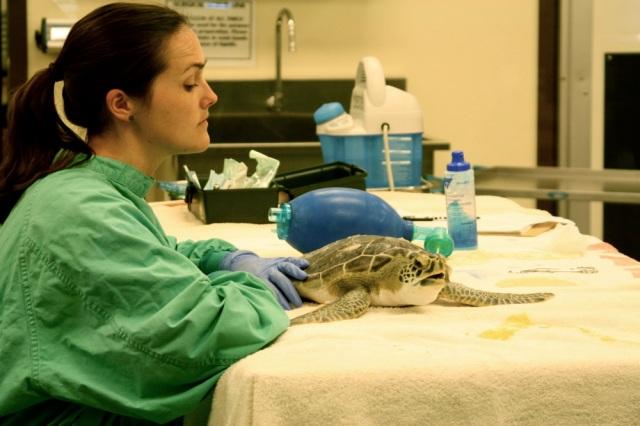 Green Sea Turtle getting rehabilitated.